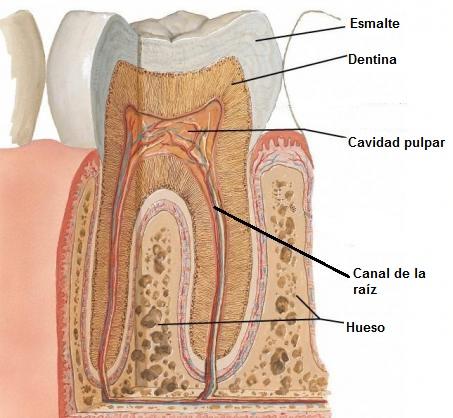 anatomia_dentaria